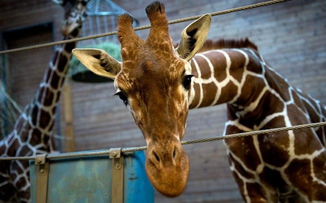 Giraffe Controversy: Copenhagen Zoo Kills Giraffe