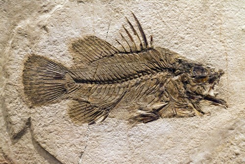 New Fossil Evidence of Romundina Fish Explains Origins of the Human Face?