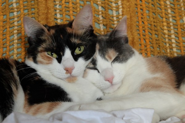 Obesity Cure Could Be Found in Calico Cats