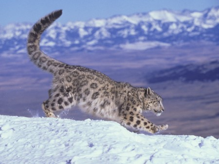 Endangered Species, Leopard, Snow Leopard, Ecosystem, Conservation