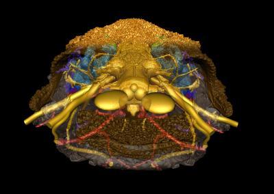 Reconstruction of fossil skull of Romundina scanned using ESRF