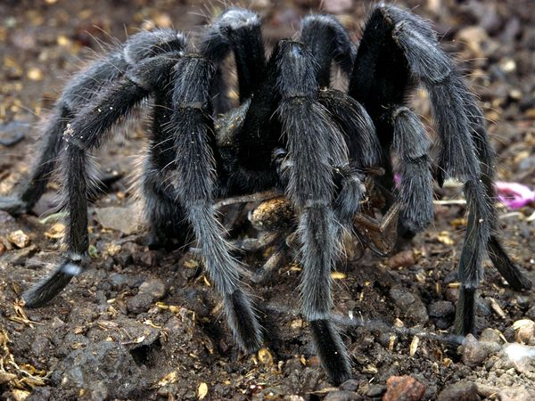 Tarantula Venom Could Lead to New Pain Killers