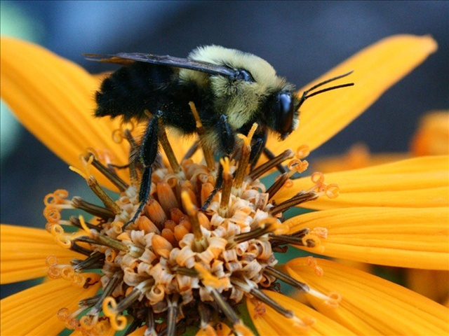 Zombie Bees Play Host to Fly Eggs - Guardian Liberty Voice