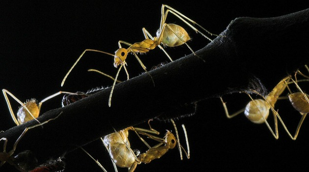 Crazy Ants and Humans