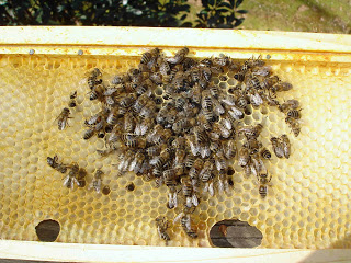Bee Health Crisis