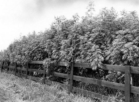 Kentucky Hemp
