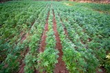 Kentucky Preps for Hemp Production