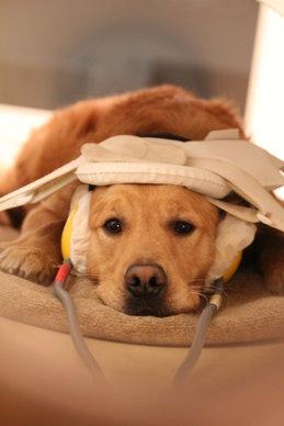 Dog fMRI