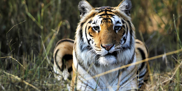 Man-Eating Tiger Terrorizes North India