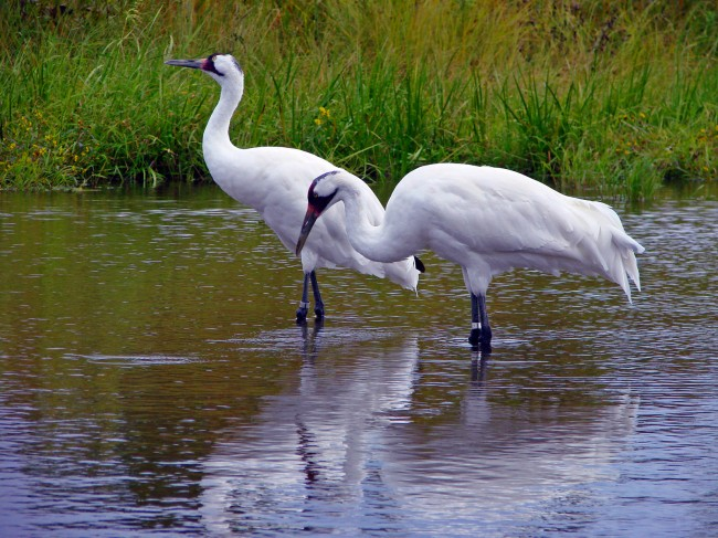u.s., science, whooping cranes, shot, louisiana, endangered