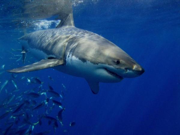 Sharks, Great White Shark