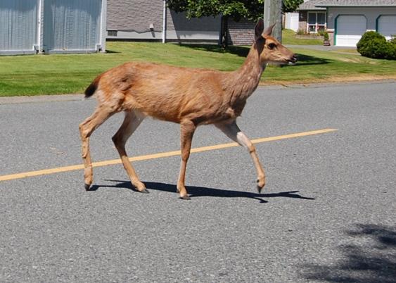 Deer Extermination