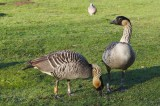 Hawaii State Bird Nene, Endangered Species Found Nesting on Oahu Island