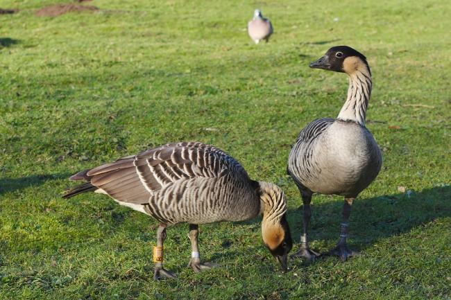 Hawaii Goose