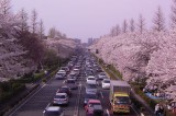 Japan: Cherry Blossoms Bloom as Sales Tax Threatens Doom