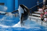 SeaWorld May Lose Killer Whale Shows Thanks to Shocking Documentary (Video)