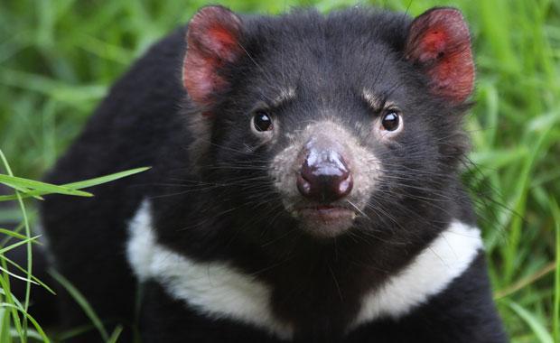 Tasmanian Devil Going Extinct From Cancer, San Diego Zoo Donates $500,000