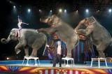 Three Elephants Run Away From The Circus in Missouri