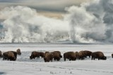 Yellowstone Bison Killing Done for Now