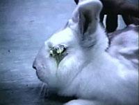 Blinded Rabbit