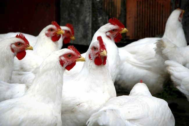 DNA of Chickens Proof Europenas Brought Them to the New World