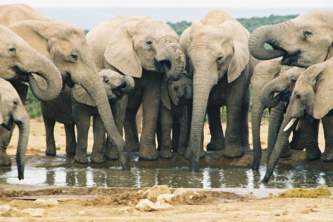 Elephants Can Distinguish Between Human Voices and Ethnic Groups