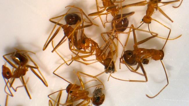 rasberry crazy ants, houston