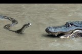 Snake Takes on Crocodile and Wins  [Video]