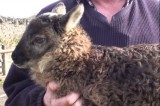 Baby Geep Born in Ireland: Rare Cross Between Goat and Sheep