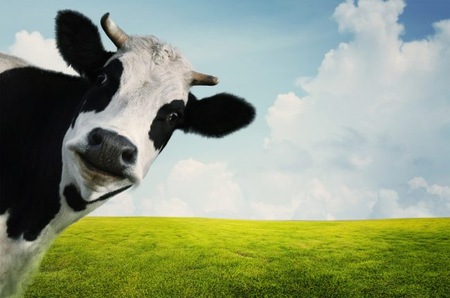 Global Warming cow farts
