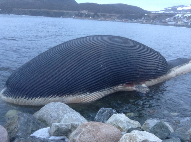 Newfoundland Beach Blue Whale