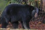 Black Bear in Florida Drags Woman From Her Garage