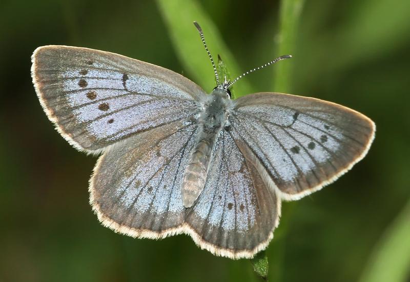 butterflies, ants, parasite