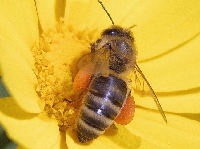 Monsanto Killing Bees