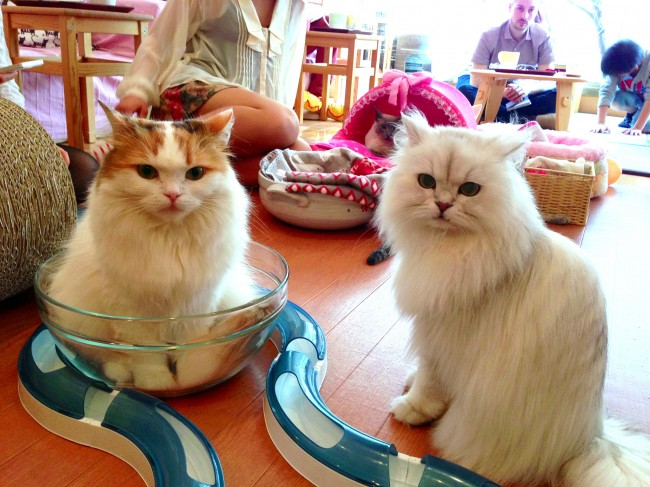 People Can Grab a Coffee With Cats at Cat Cafes