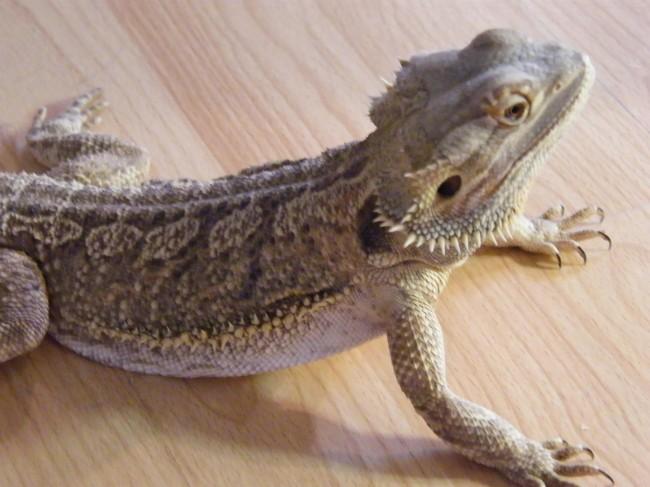 salmonella cotham bearded dragon