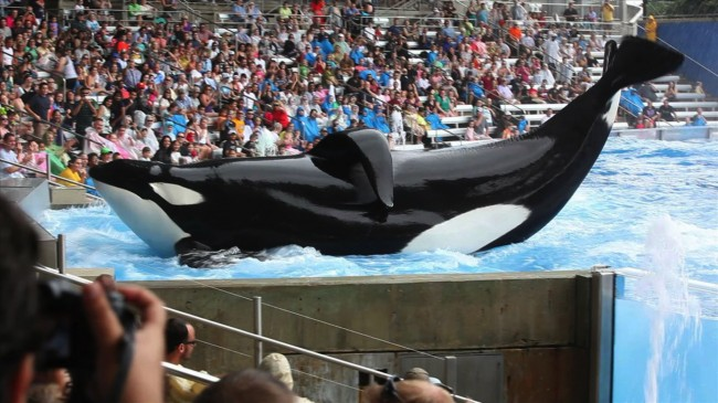 SeaWorld Declining Numbers May Be Linked to Blackfish