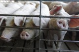 U.S. Farms Hit Hard With Disastrous Pig Disease