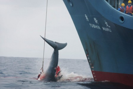 Whaling in Japan Prohibited