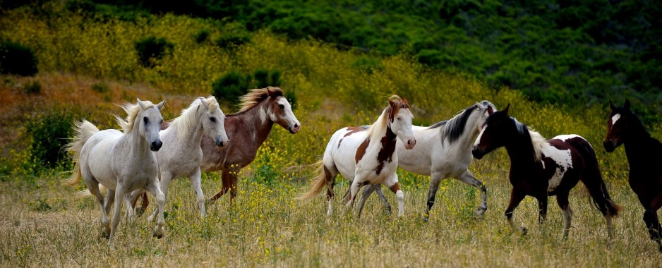 Wild Horses Just Meat to the Bureau of Land Management?