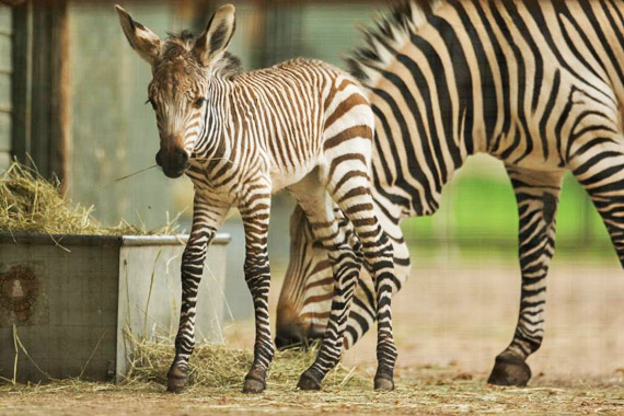 Zebra Stripes: A Big Data Question?