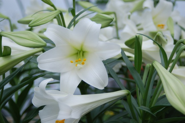Easter Lily Tradition And History Guardian Liberty Voice