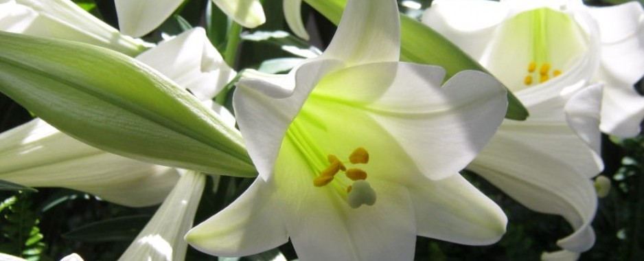 Easter Lily Tradition and History