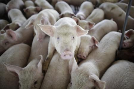 pork shortage