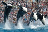 Orca Ban Delayed in California