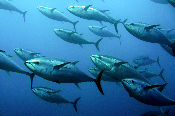 Radiation From Fukushima Nuclear Meltdown Found in Albacore Tuna
