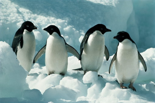 Avian Influenza Present in Antarctic Penguins