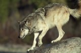 Iowa Hunter Kills Healthy Grey Wolf
