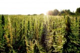 Hemp and the United States Government