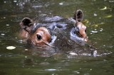 Hippo Dung Threatens Fish in Kenya River Studied With Crocodile Boats